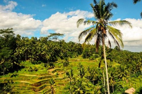 Rice Fields - Ubud - Bali