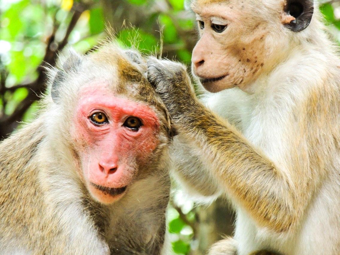 Sri Lanka apen1